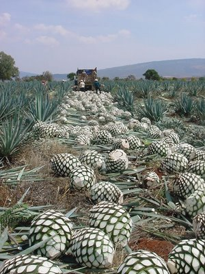 Blue Weber agave field with harvested Piñas being loaded for transport to the processing plant
